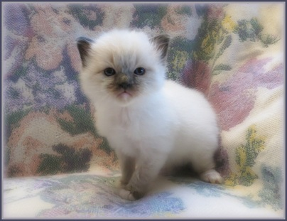 Seal mitted ragdoll kittens