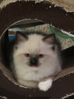 Ragdoll kittens for sale MN