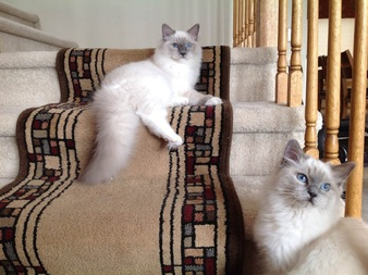 Blue colorpoint Blue mitted ragdoll cat