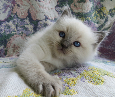 Crescent Moon Ragdolls for sale