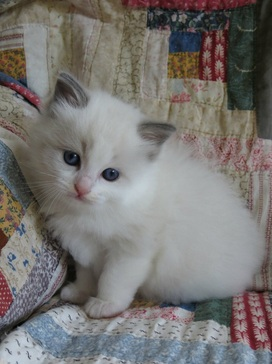 bicolor ragdoll kittens for sale