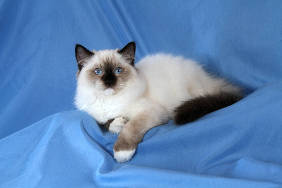 Ragdoll Kittens For Adoption Image May Contain Cat Rare Tica