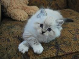 Seal Lynx Miited Ragdoll cat for sale
