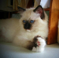 Seal Mitted Rag Doll Kitten