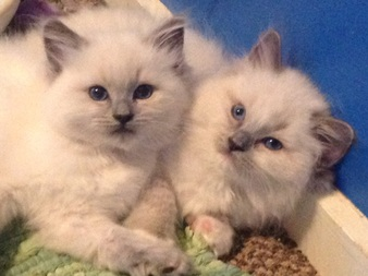 Blue mitted ragdoll kitten  Blue colorpoint ragdoll kitten for sale
