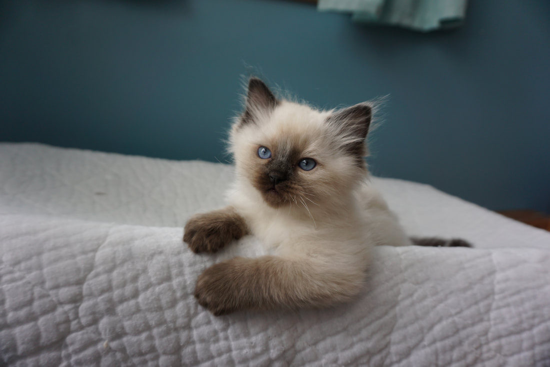 Adoption at Crescent Moon Ragdolls